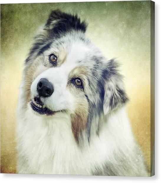 Head Tilt Canvas Print - Portrait Of An Australian Shepherd 1 by Wolf Shadow  Photography