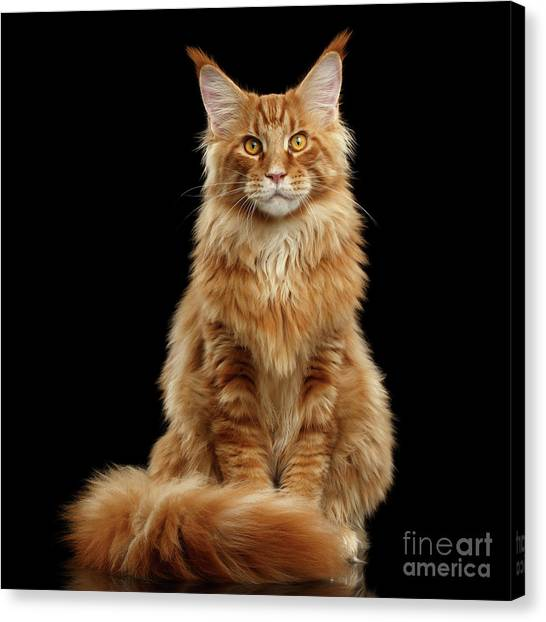 Portrait Of Ginger Maine Coon Cat Isolated On Black Background Canvas Print