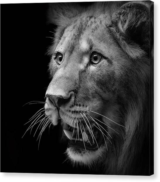 Lions Canvas Print - Portrait Of Lion In Black And White II by Lukas Holas