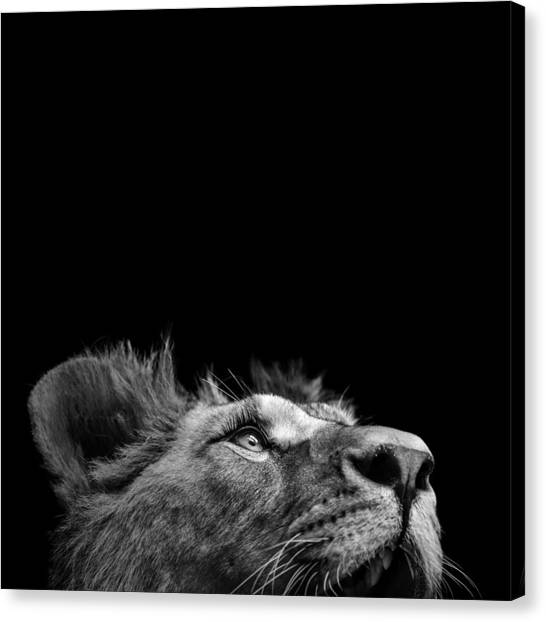 Zoo Canvas Print - Portrait Of Lion In Black And White IIi by Lukas Holas