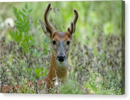 Portriat Of Male Deer Canvas Print