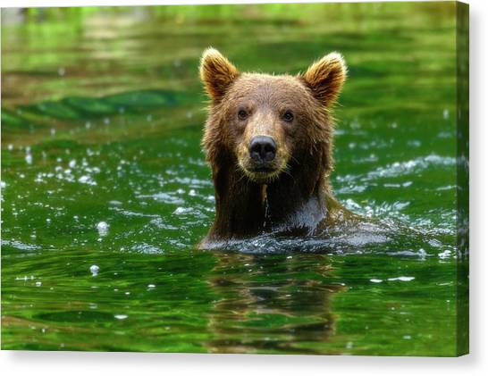 Brown Bears Canvas Print - Pose by Chad Dutson