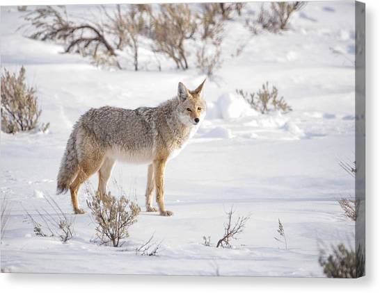 Yellowstone National Park Canvas Print - Posing Coyote by Brad Scott