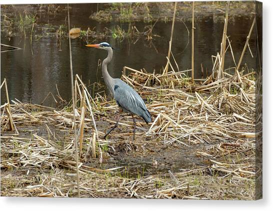 Canvas Print featuring the photograph Posing Great Blue Heron  by Betty Pauwels