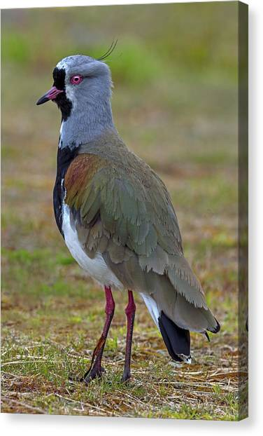 Lapwing Canvas Print - Positive Spurs by Tony Beck