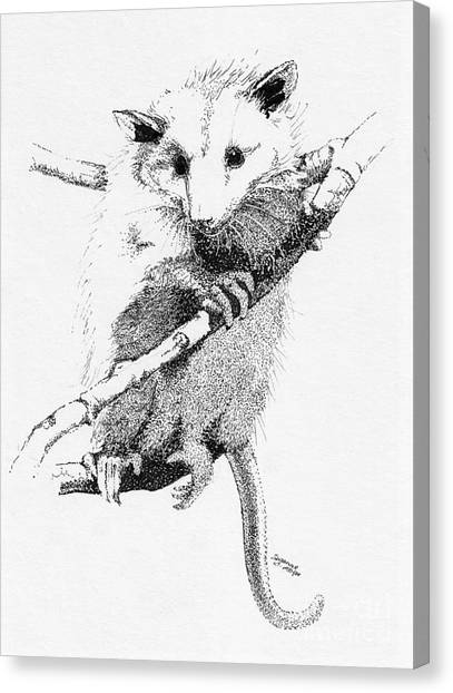 Possum Up A Tree Canvas Print