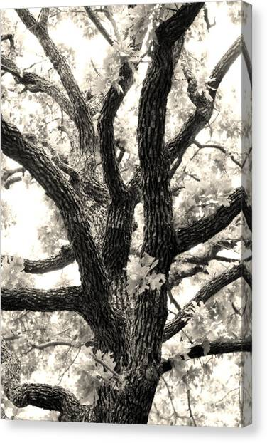 Post Oak Canvas Print by Jeannie Burleson