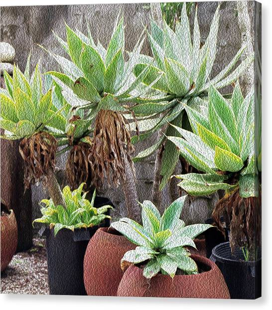 Potted Agave Plants Canvas Print