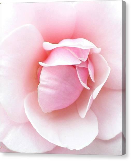Powder Puff Rose Canvas Print
