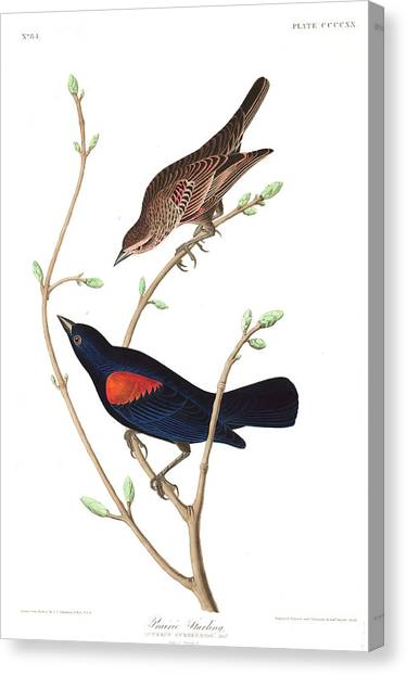 Starlings Canvas Print - Prairie Starling by John James Audubon
