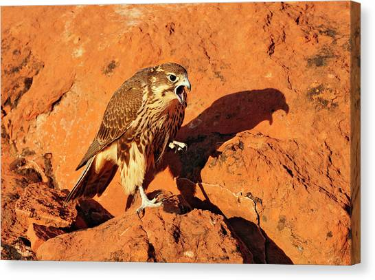 Prarie Falcon Canvas Print by Dennis Hammer