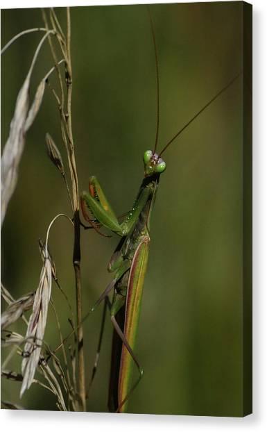 Praying Mantis 2 Canvas Print