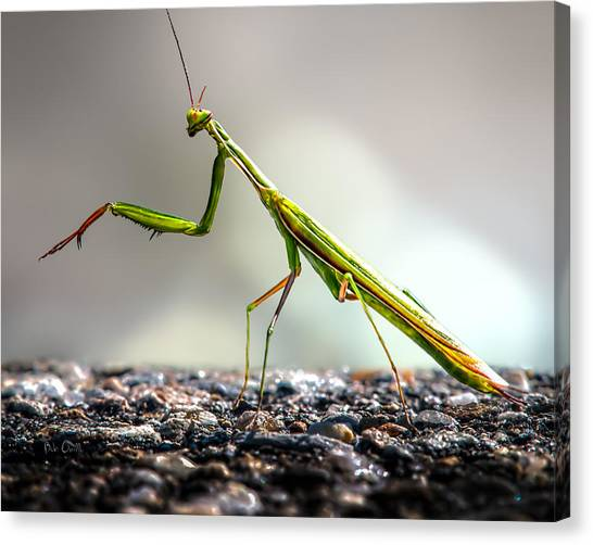 Bug Canvas Print - Praying Mantis  by Bob Orsillo