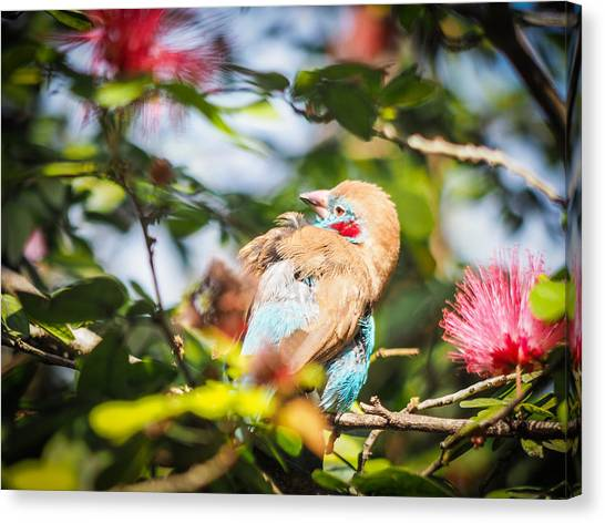 Red Cheeked Cordon Bleu Finch Canvas Print