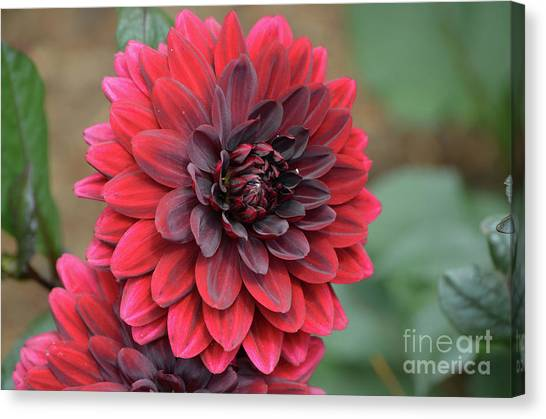 Pretty Blooming Red Dahlia Flower Blossom Canvas Print
