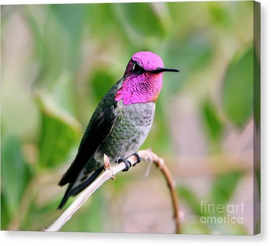 Pretty In Pink Anna's Hummingbird Canvas Print