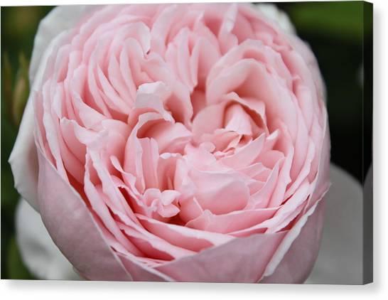 Pretty In Pink Canvas Print by Sabina Thomas