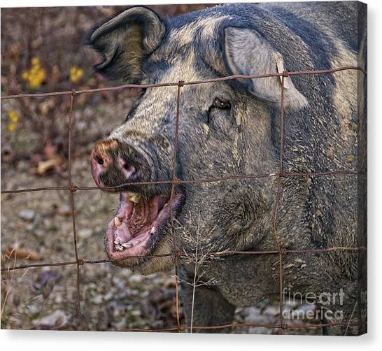 Farm Raised Pigs Canvas Print - Pretty Pig by Timothy Flanigan and Debbie Flanigan at Nature Exposure