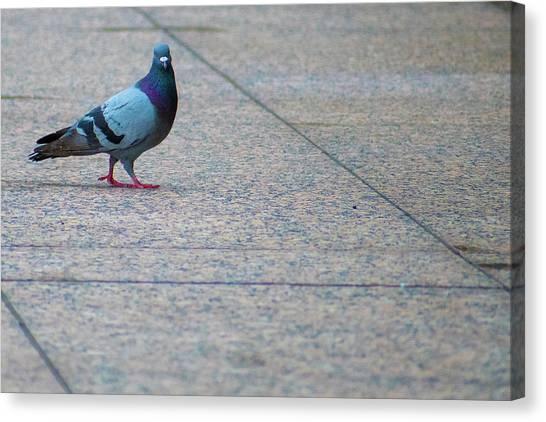 Pretty Pigeon Posing On A Sidwalk Canvas Print