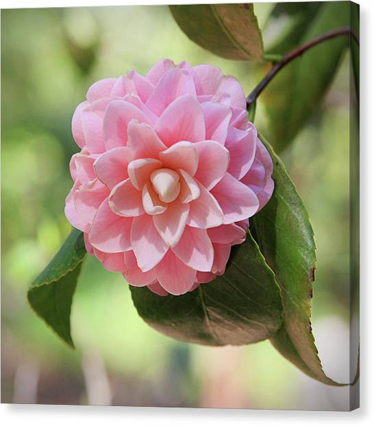 Camellias Canvas Print - Pretty Pink Camellia 2- Photography By Linda Woods by Linda Woods