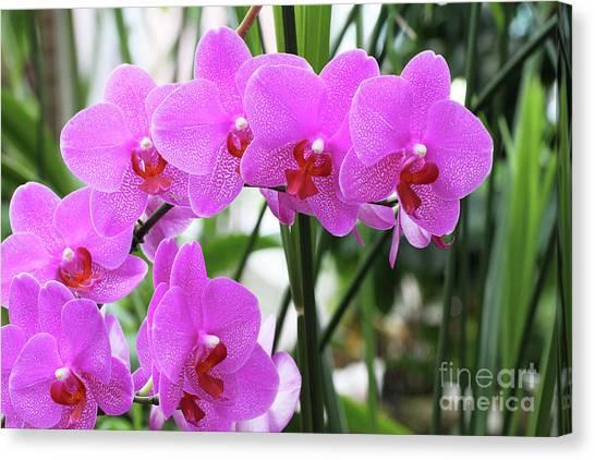 Pretty Pink Phalaenopsis Orchids #2 Canvas Print