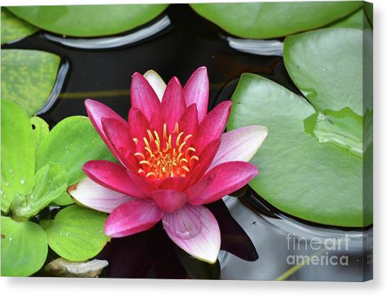Pretty Red Water Lily Flowering In A Water Garden Canvas Print