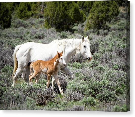 Pretty White Mustang Mare With Her New Foal - Sand  Wash Basin Canvas Print