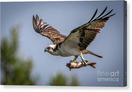 Prey In Talons Canvas Print