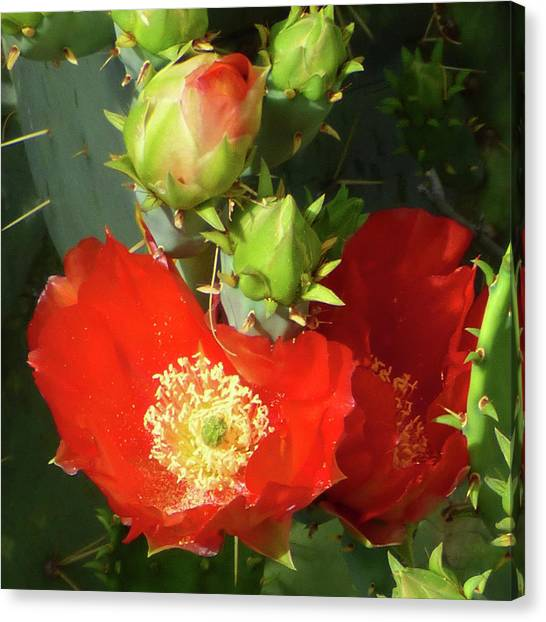 Arizona State University Asu Tempe Canvas Print - Prickley Pear In Red With Pollen by Kare Dey