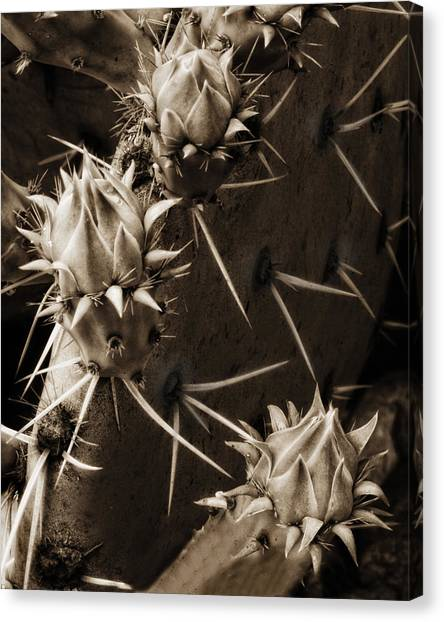 Prickly Pear Buds Canvas Print by Bob Coates