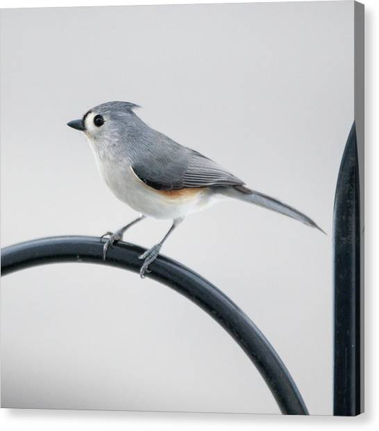 Profile Of A Tufted Titmouse Canvas Print