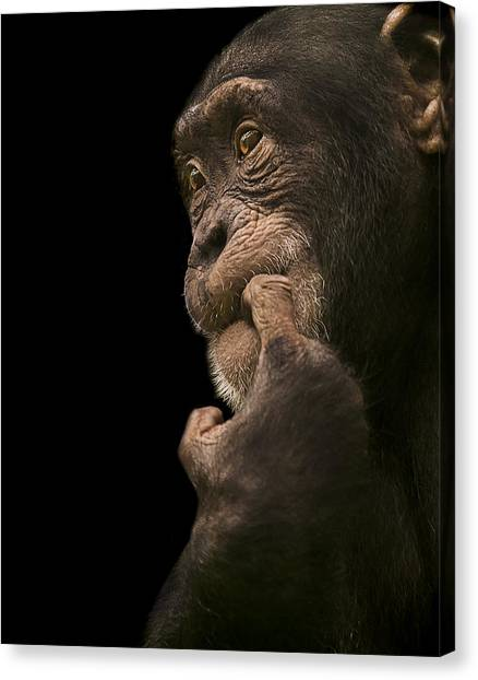 Chimpanzees Canvas Print - Promiscuous Girl by Paul Neville