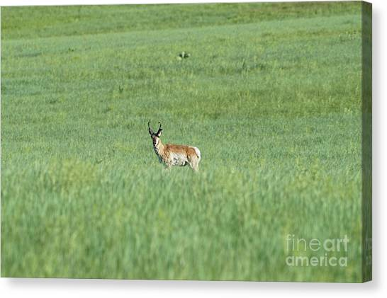 Pronghorn In A Sea Of Green Canvas Print