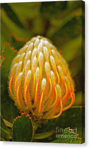Proteas Ready To Blossom  Canvas Print
