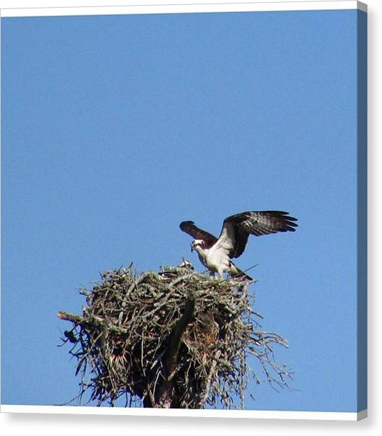 Osprey Canvas Print - Protect This House! #osprey #bird by Greg Royce
