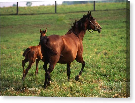 2f205 Protective Mare And Foal Canvas Print