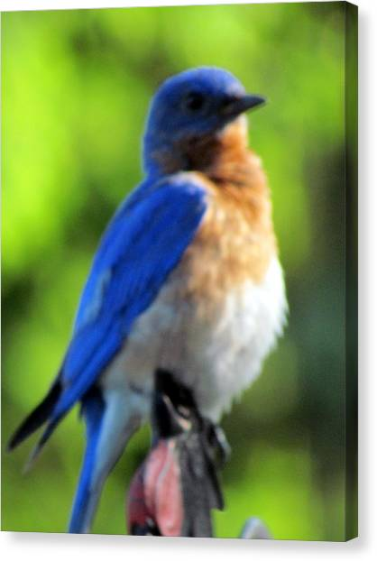 Proud Bluebird Out Kitchen Window Canvas Print