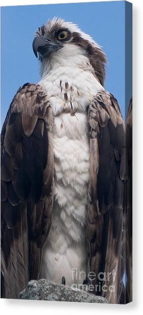 Proud Hawk Canvas Print