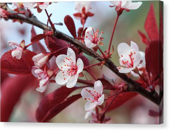 Prunus Cistena Canvas Print by Rodger Werner