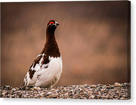 Ptarmigan Denali National Park Canvas Print