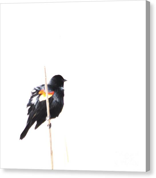 Puffed Up Red-winged Blackbird Canvas Print
