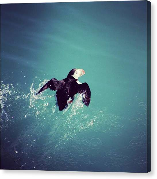 Puffins Canvas Print - Puffin Attempting Take Off #puffin by Mo Barton