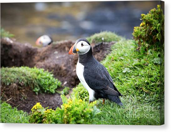 Puffins Canvas Print - Puffin  by Jane Rix