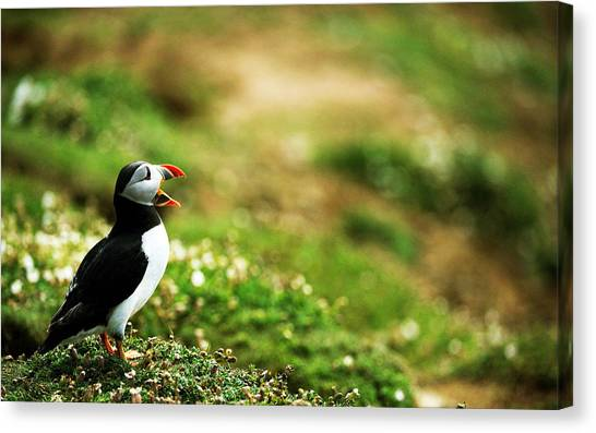 Puffins Canvas Print - Puffin by Maye Loeser