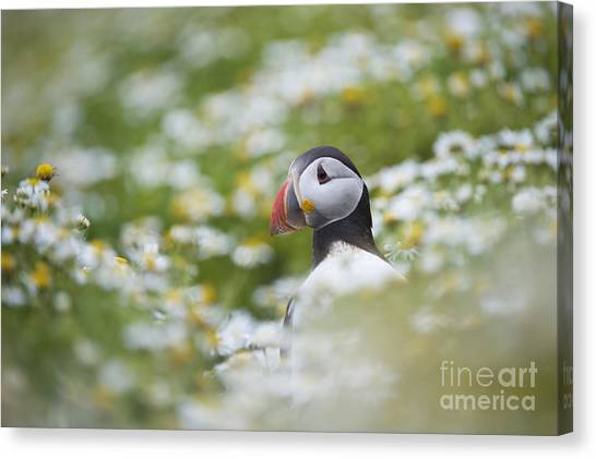 Puffins Canvas Print - Puffin by Tim Gainey