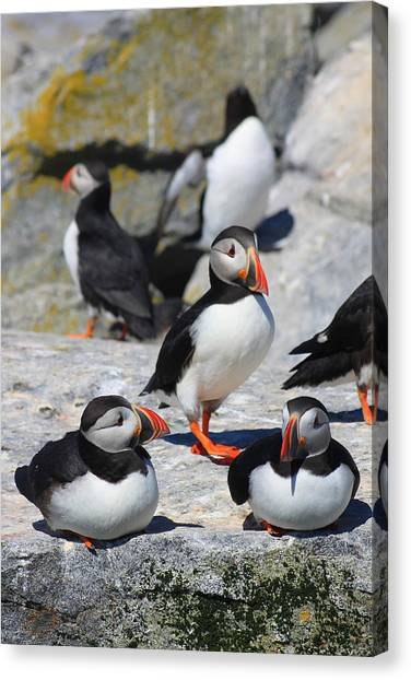 Razorbills Canvas Print - Puffins At Rest by John Burk