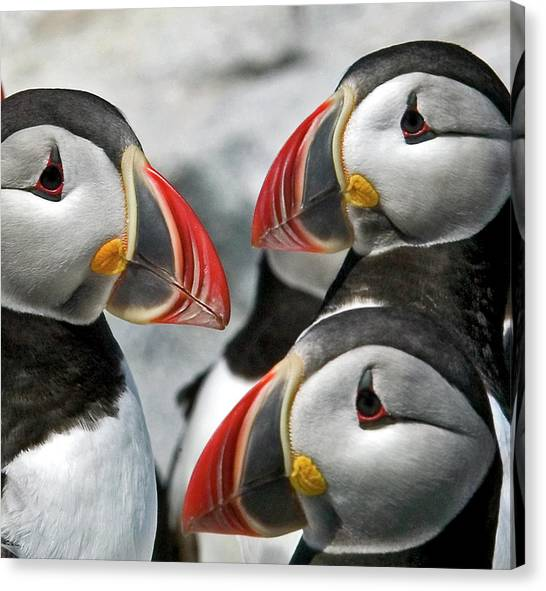 Puffins Closeup Canvas Print