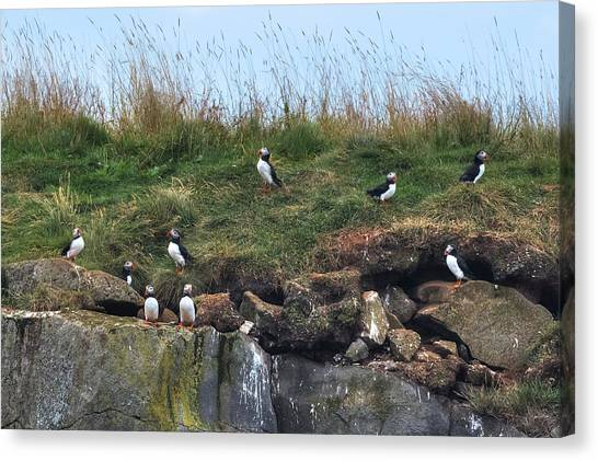Puffins Canvas Print - Puffins In Iceland by Joana Kruse