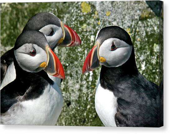 Puffins Together Canvas Print