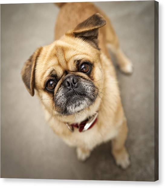 Pug Dog 2 Canvas Print